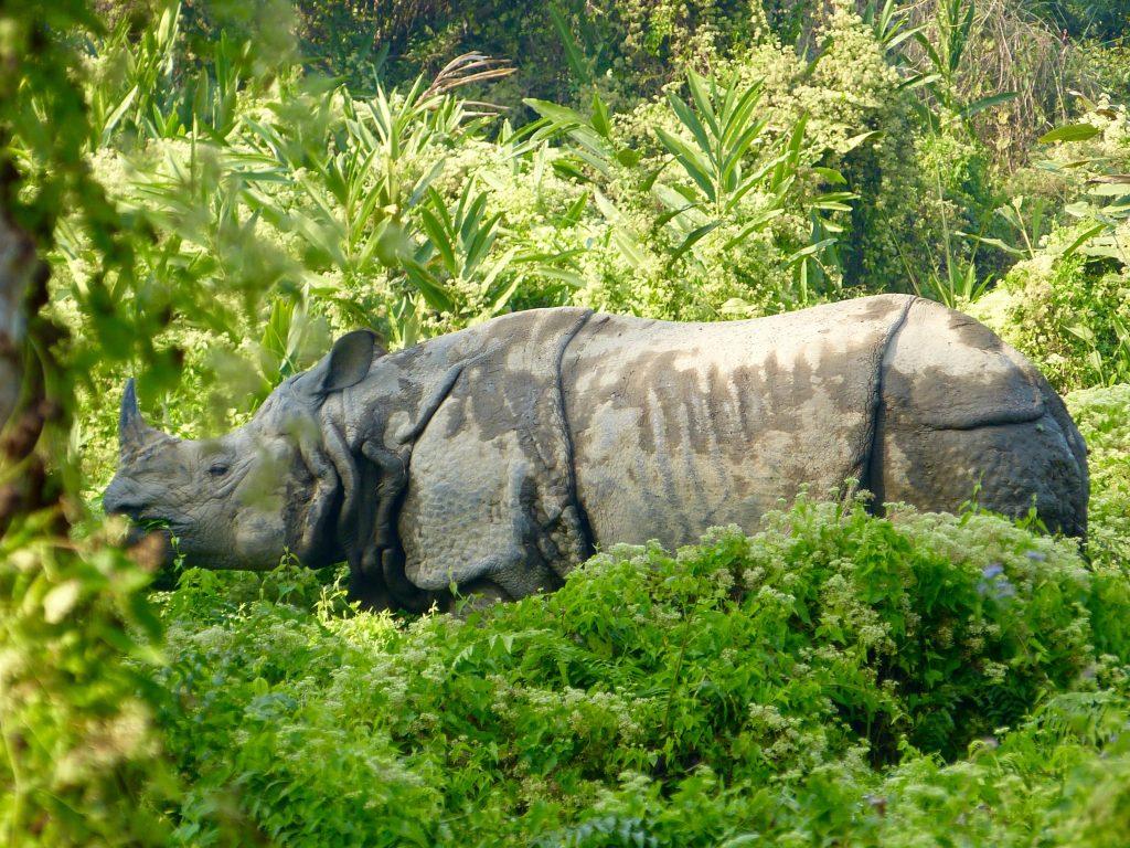 Hiking Chitwan National Park One-horned Rhino Nepal