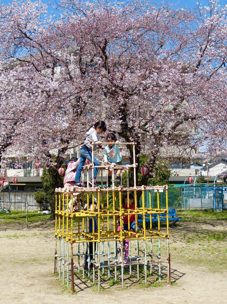 Cherry blossom Kyoto Japan Familyearthtrek
