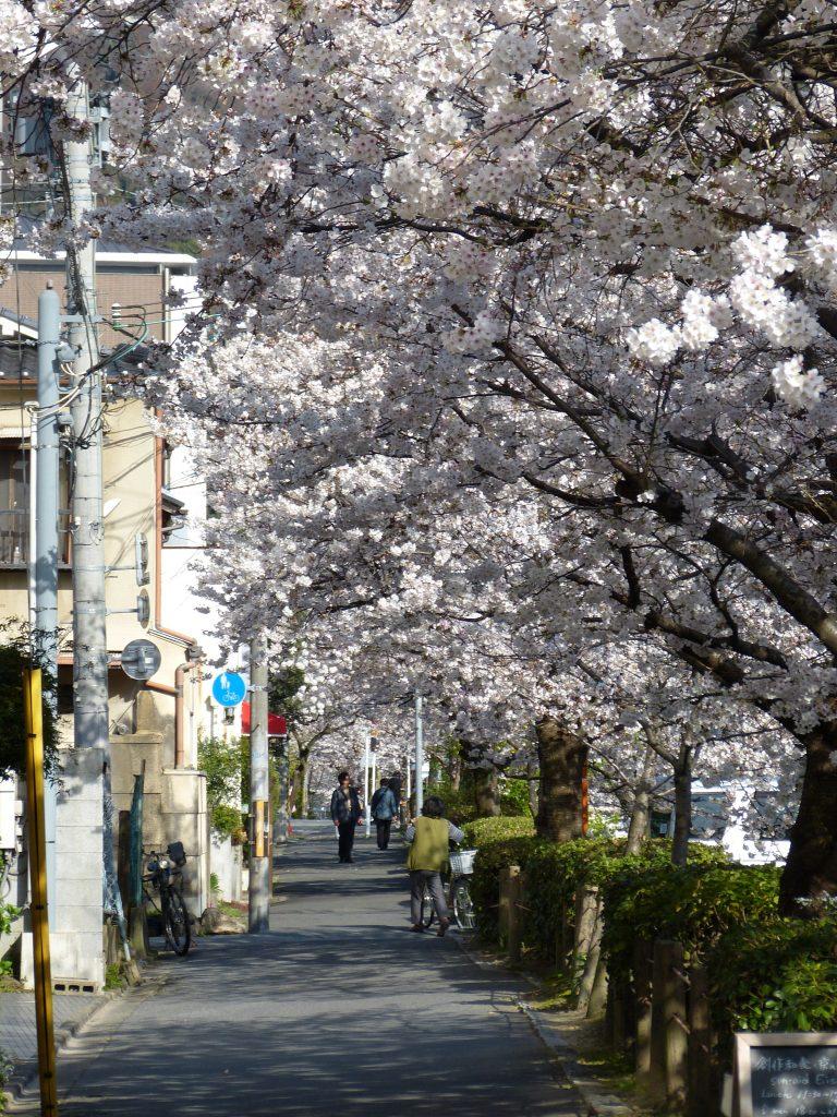 Cherry blossom Philosopher's path japan familyearthtrek