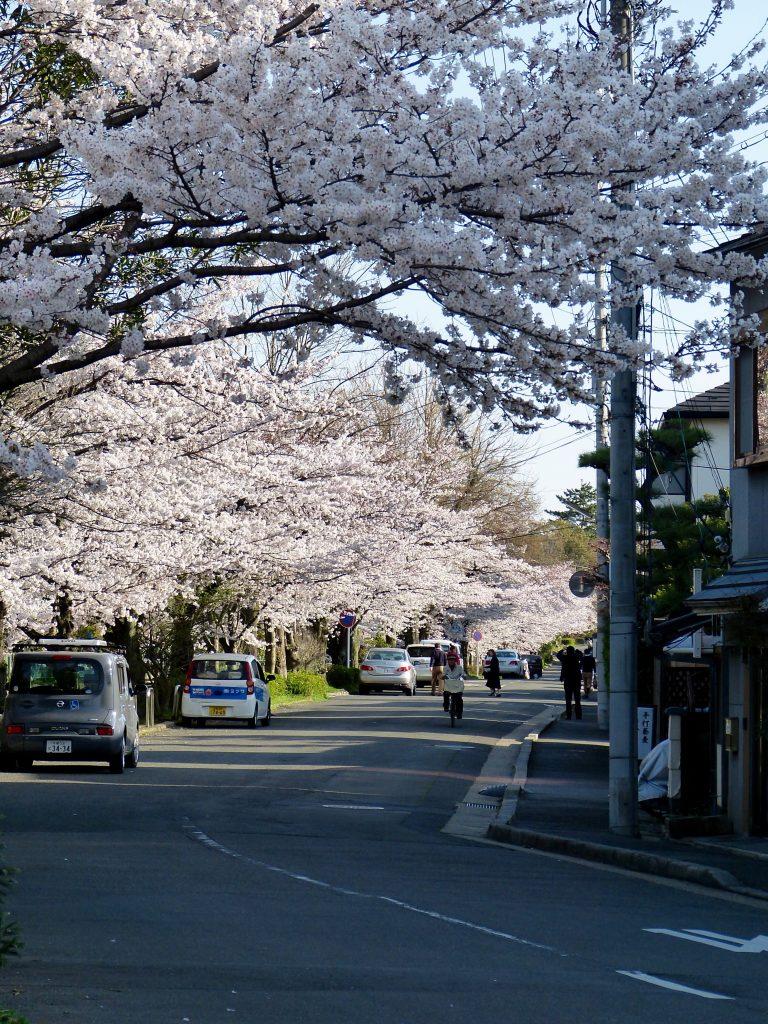 Cherry blossom Philossopher's path Japan familyearthtrek