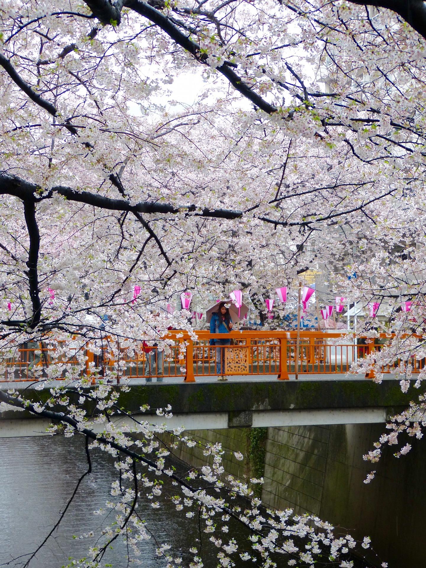 Cherry blossom Meguro river Japan Familyearthtrek