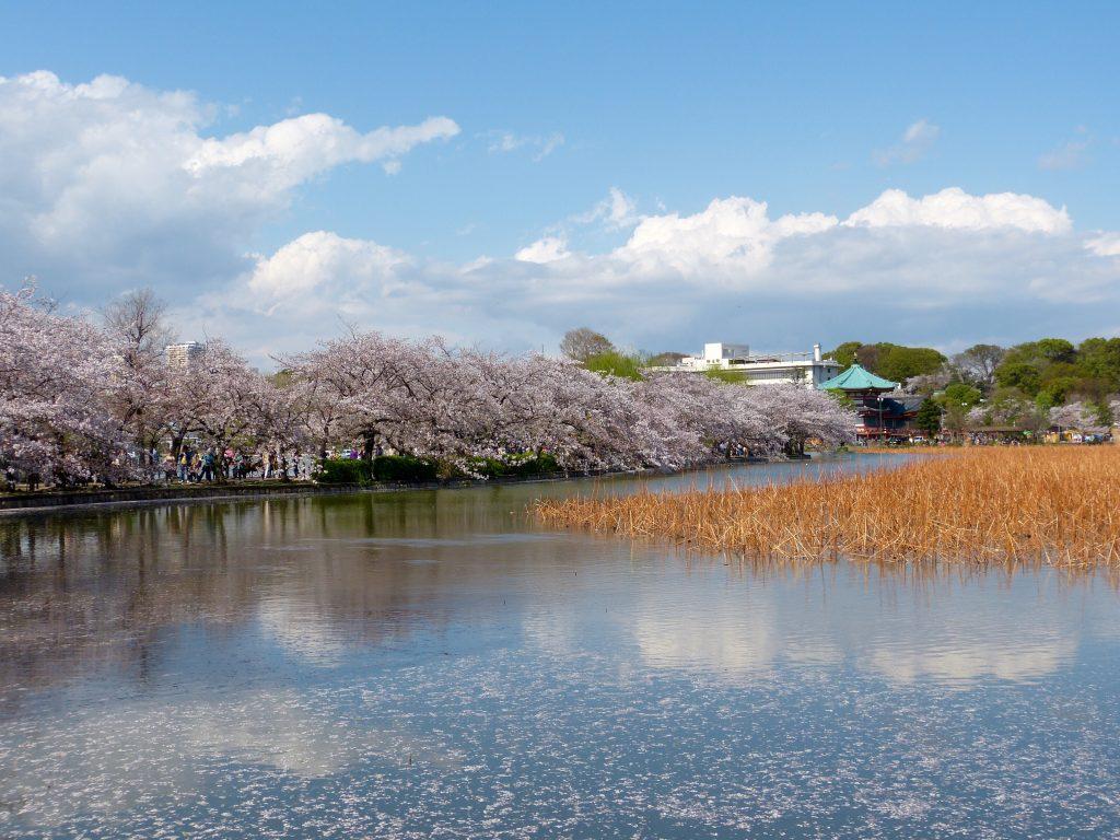 Cherry blossom Inokashira park Japan