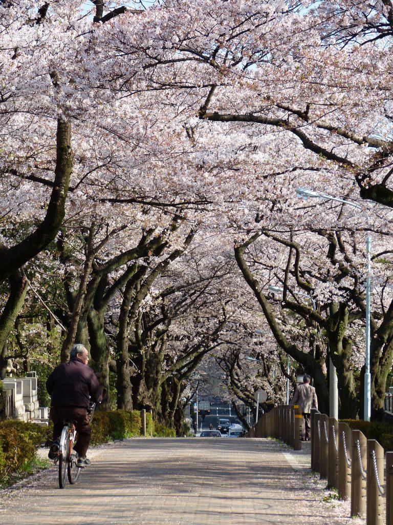Cherry blossom Aoyama cementery japan familyearthtrek