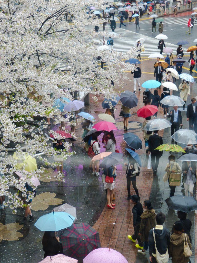 Cherry blossom Tokyo Japan Familyearthtrek
