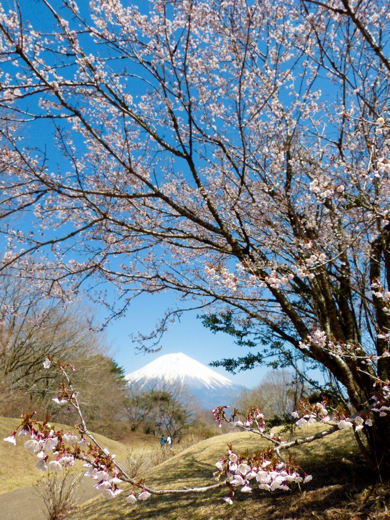 Cherry blossom mount fuji japan familyearthtrek