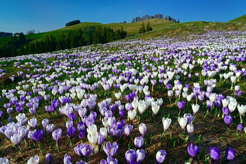 Spring hikes in Switzerland, flower blossom in Switzerland, Hiking with kids in Switzerland